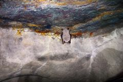 Bats as inhabitants of caves and dungeons. Daubenton's Bat (Myotis daubentoni), water bat hibernate in mine tunnel over stream. Fur covered with large drops of Royalty Free Stock Image