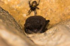 Daubenton's bat (Myotis daubentonii) roosting Stock Photo