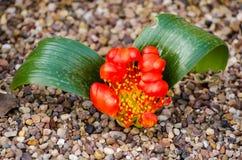 Daubenya aurea (var. coccinea) Royalty Free Stock Photo