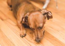 Dauchsund-Hundespielen Stockbilder