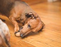 Dauchsund-Hundespielen Stockbild