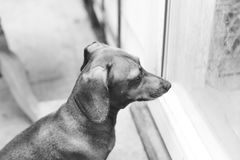 Dauchsund Waiting on Porch. Dauchsund waiting outside near a sliding glass door Royalty Free Stock Image