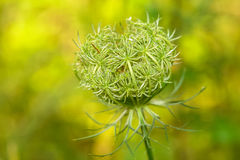 Daucus carota Wild carrot Stock Photo