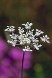 Daucus Carota flower Royalty Free Stock Photo