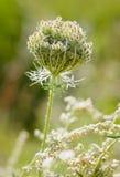Daucus Carota Flower Stock Photography