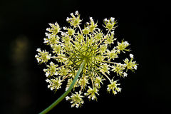 Daucus carota. Flowers, on natural dark background Royalty Free Stock Image