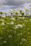 Daucus Carota Queen Anns Lace in Field Stock Images