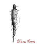 Daucus carota or wild carrot, botanical  vintage engraving Royalty Free Stock Photos