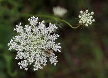 Daucus carota Wildflower Stock Photography