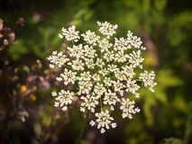 Daucus carrot plant royalty free stock images