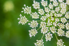 Daucus carrota Queen Anne's Lace Royalty Free Stock Photography