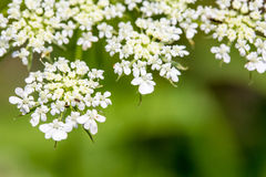 Daucus carrota Queen Anne's Lace Royalty Free Stock Images