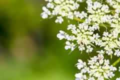 Daucus carrota Queen Anne's Lace Royalty Free Stock Photos