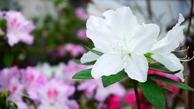 Daughter came to mother and photographing wonderful flowers. Close-up photography, white and pink flowers growing in garden. White flowers have green leaves Royalty Free Stock Images