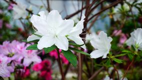 Daughter came to mother and photographing wonderful flowers. Close-up photography, white and pink flowers growing in garden. White flowers have green leaves Stock Photography
