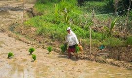 Dauin, Philippinen - 9. Juni 2017: Frau, die Reis auf dem Sumpfgebiet pflanzt Traditioneller Reisanbau im Paddel Stockfoto