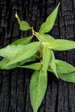 Daun Kesum - Asian Herb Stock Images