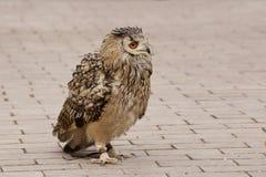 Dauntless owl Royalty Free Stock Photos