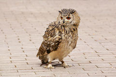 Dauntless owl Royalty Free Stock Photography