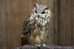 Dauntless owl Stock Photo