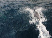dauphin Photo stock