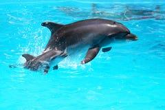 Dauphin avec un bébé flottant dans l'eau Images stock