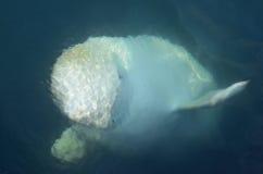 Dauphin blanc, belukha, beluga en mer bleue Photographie stock libre de droits