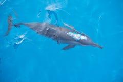 Dauphin bouillonnant en mer bleue profonde Image stock