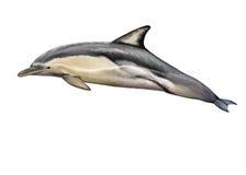 dauphin commun Court-rostré illustration stock