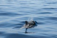 Dauphin dans l'océan chez Ténérife Image libre de droits