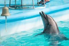Dauphin dans le jeu de piscine Images stock