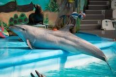 Dauphin dans le jeu de piscine Photo libre de droits