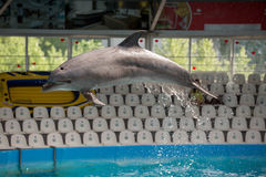 Dauphin dans le jeu de piscine Photos libres de droits
