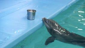 Dauphin dans le poisson frais de attente de piscine de dolphinarium pour la consommation clips vidéos