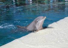 Dauphin dans une eau bleue photographie stock libre de droits
