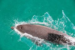 Dauphin de Bottlenose Photographie stock libre de droits