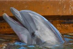 Dauphin de Bottlenose gentil chez Seaworld dans la région internationale d'entraînement image stock