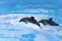 Dauphin de Bottlenose sautant de l'eau bleue Photographie stock libre de droits