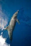 Dauphin de Bottlenose (truncatus de Tursiops) Photographie stock libre de droits