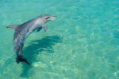 Dauphin de natation Photos libres de droits
