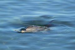 Dauphin en mer bleue Images libres de droits