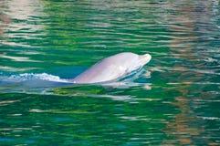 Dauphin en mer dans le sauvage Photos libres de droits
