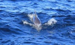 Dauphin en mer de la Gold Coast Photo libre de droits