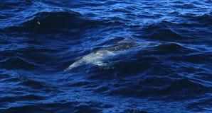 Dauphin en mer de la Gold Coast Image stock