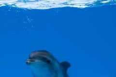 Dauphin heureux dans le dolphinarium sous l'eau bleue Image stock