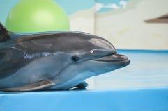 Dauphin mignon dans le dolphinarium Photo stock