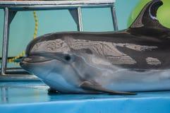 Dauphin mignon dans le dolphinarium Image stock