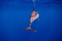 Dauphin par derrière en mer bleue Photos stock