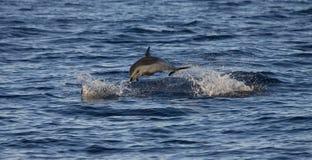 Dauphin repéré Pantropical, attenuata de Stenella photo libre de droits