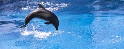 Dauphin sautant dans l'eau bleue Photographie stock libre de droits